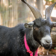 My Home Planet Series: Prospect Park Goats