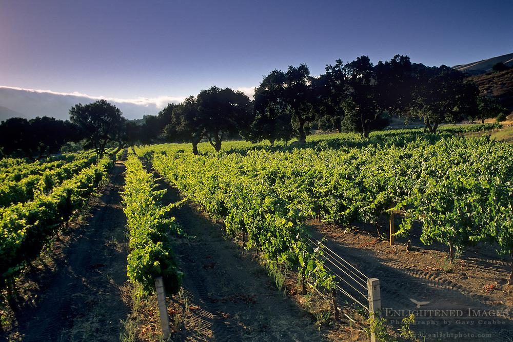 Vineyard along Carmel Valley Road Carmel Valley, Monterey County, California