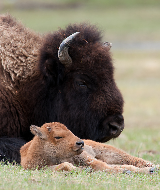 A bison (Bos bison) cow resting with her calf, Yellowstone National Park, Wyoming