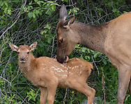 Elk cow cleans off seeds clinging to the fur on its calf. These are probably from the invasive houndstongue, Cynoglossum officinale, adapted to spreading by clinging to mammal fur. Greater Yellowstone Ecosystem, © 2019 David A. Ponton