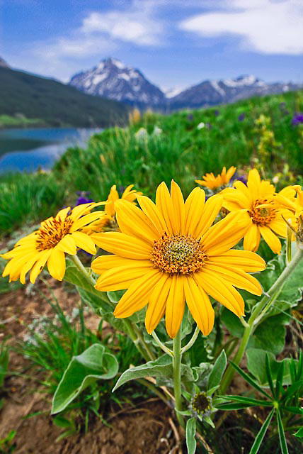 yellow spring balsam root flowers two medicine, rising wolf mountain, blackfeet reservation