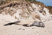 Southern elephant seal (Mirounga leonina) flings sand onto its back while resting on a beach.  The sand acts as barrier to sunburn and also aids in keeping the animal cool during the day