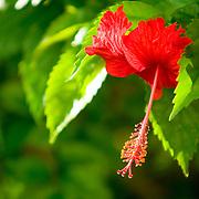 Hibiscus flower, Belize