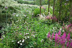 Cosmos bipinnatus 'Purity', Astilbe 'Fanal', Astrantia major and Rosa 'Little White Pet' in a border at Glebe Cottage