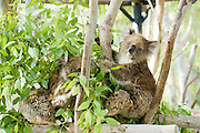 Two Female Koala (Phascolarctos cinereus) in an Eucalyptus tree