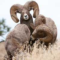 group bighorn rams wild rocky mountain big horn sheep