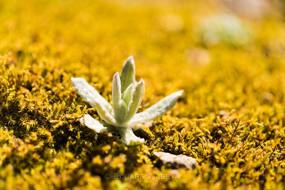 A small plant (probably Gamochaeta) amid yellow club mosses at the Cerro de la Muerte, Costa Rica. Photo by Eduardo Libby