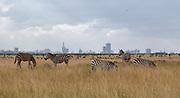 Common zebras in front of Nairobi Skyline in Nairobi National Park, Kenya.