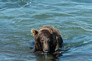 A Grizzly bear boar fishing for chum salmon in the upper McNeil River falls at the McNeil River State Game Sanctuary on the Kenai Peninsula, Alaska. Bears use a variety of techniques to catch salmon including swimming on the surface or under the water. The remote site is accessed only with a special permit and is the world's largest seasonal population of brown bears.