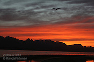 Orange sunset silhouettes seagull flying over Isla Carmen, Sea of Cortez, Baja, Mexico.
