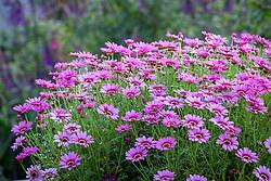 Argyranthemum 'Grandaisy Pink'.