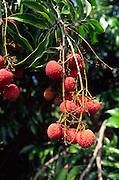 Lychee tree, Hawaii<br />