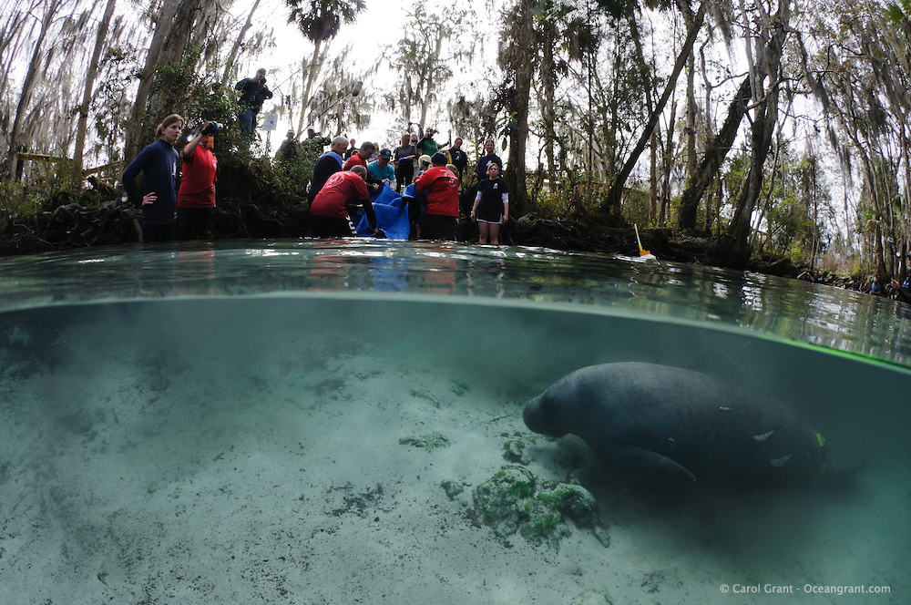 Florida manatee, Trichechus manatus latirostris, a subspecies of the West Indian manatee, endangered. February 13, 2012 there are releases of three rehabilitated manatees back into the wild. This is Hamilton, the first of the releases. He is finding his own way with tracking buoy attached. Note the propeller scars. Named after the late USFWS Director Sam Hamilton, Hamilton is a rescued orphan manatee from Three Sisters, February 2010 and now at release weighs in at 670 pounds. Personnel from United States Fish and Wildlife Services and four other parties conduct the successful release. Horizontal orientation split image. Three Sisters Springs, Crystal River National Wildlife Refuge, Kings Bay, Crystal River, Citrus County, Florida USA.