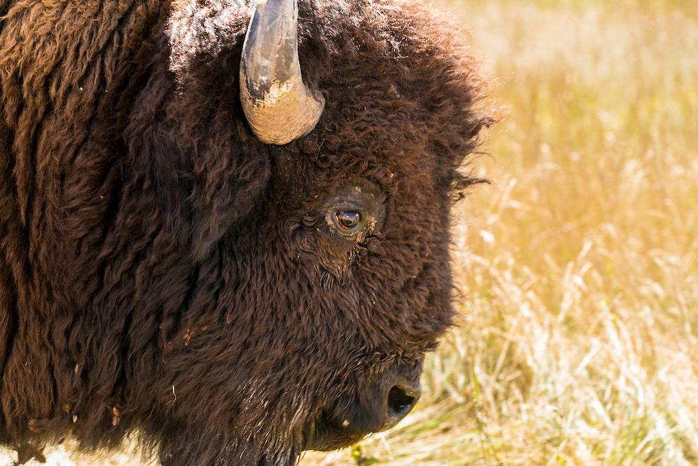A close-up photograph of an American bison.  The head shot was taken at the Badlands National Park in South Dakota.