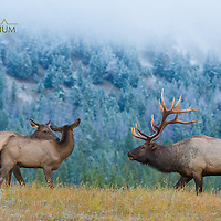 bull and cow elk on grassy ridge greeting in front of fresh snow and clouds