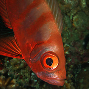 Crescent Tail Bigeye Priacanthus hamrur at Lembeh Straits, Indonesia.