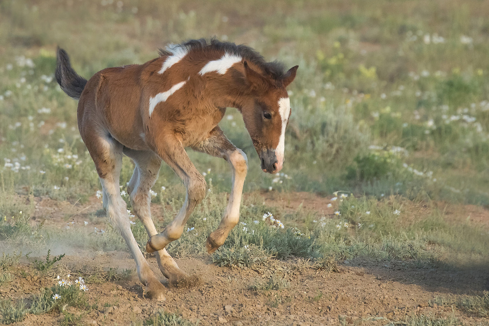 Less than a month old, a wild filly kicks up her heels as she approaches the waterhole with her family.