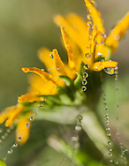 Dewdrops on wildflower and spider silk, mountain meadow, © 2007 David A. Ponton