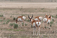 A group of Pronghorn(Antilocapra americana)outside Malheur National Wildlife Refuge, Harney County, Oregon.