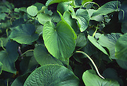 Awa, plant used to make Kava<br />