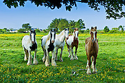 Traditional Irish paint shire horses, skewbald and piebald in buttercup meadow near Kilmore, Ireland