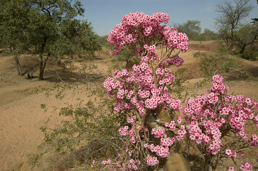 "Environs. Flowering ""Desert Rose"" bush/tree in a dry steam bed area of the Sahel in Eastern Chad, near the Breidjing Refugee Camp. The Adenium or ""Desert Rose"" is an extraordinary tropical plant. Coming essentially from East Africa, where it is found under different ""subspecies"" in countries like Sudan, Yemen, Socotra , Namibia, South Africa, Zimbabwe. (Supporting image from the project Hungry Planet: What the World Eats.)."
