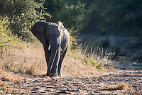 African Elephant walking in dry riverbed, Kruger National Park, Limpopo, South Africa