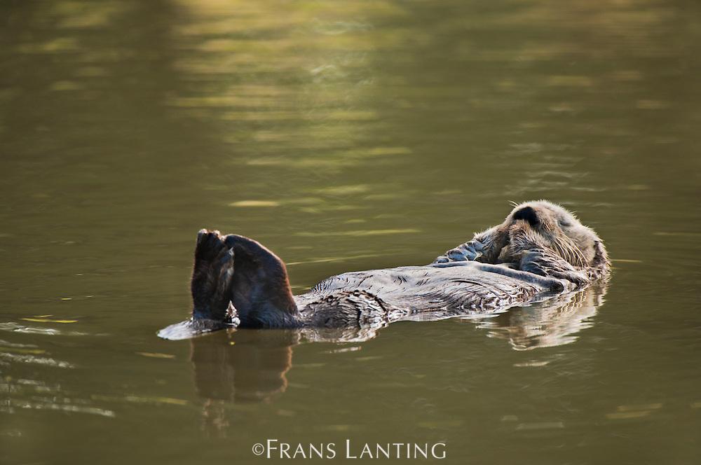 Sea otter resting, Enhydra lutris, Moss Landing, Monterey Bay, California