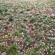 Petals lay on the ground from Washington DC's famous Yoshino Cherry Blossoms around the Tidal Basin.
