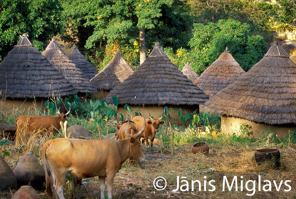 Cattle graze in the middle of the Bedik tribe village of Iwol, Senegal.