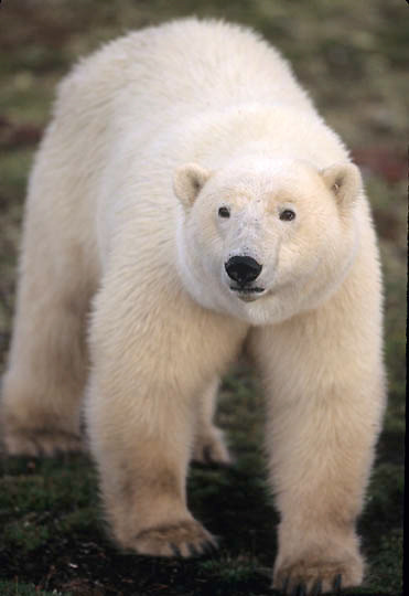 Polar Bear, (Ursus maritimus) Late fall. Churchill, Manitoba. Canada.