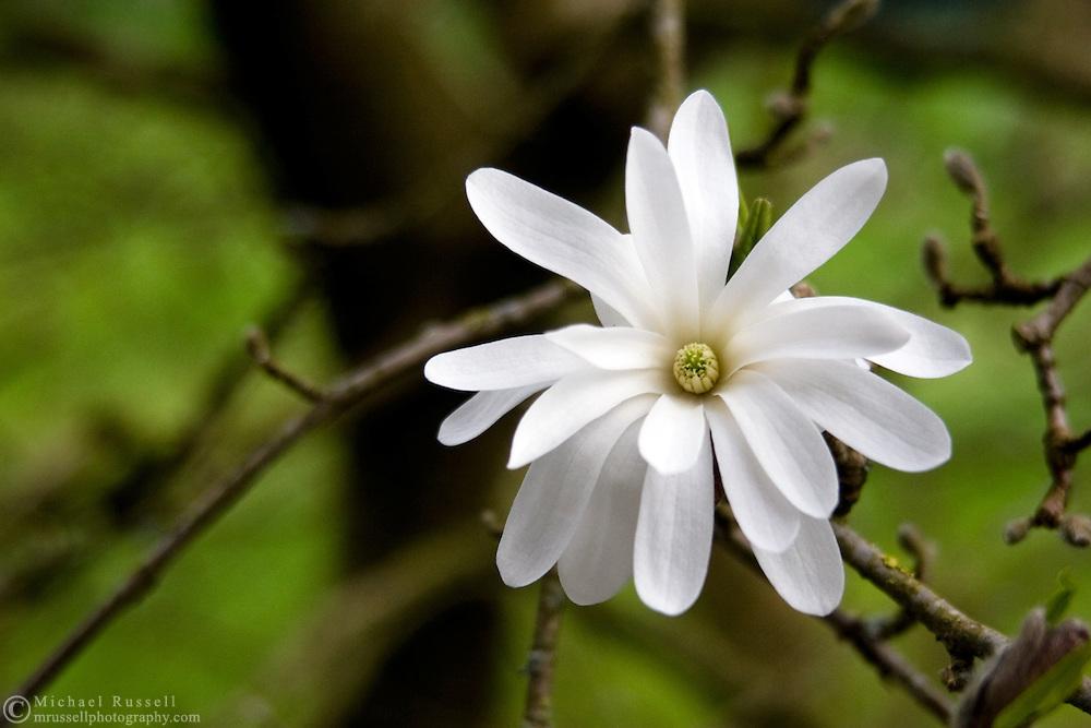 A Star Magnolia (Magnolia stellata) tree spring flower