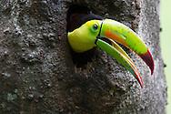Keel-billed Toucan (Ramphastos sulfuratus), Honduras