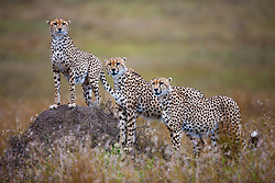 Three male cheetah brothers (Acinonyx jubatus) in a coalition posing on a termite mound, Masai Mara, Kenya,Africa