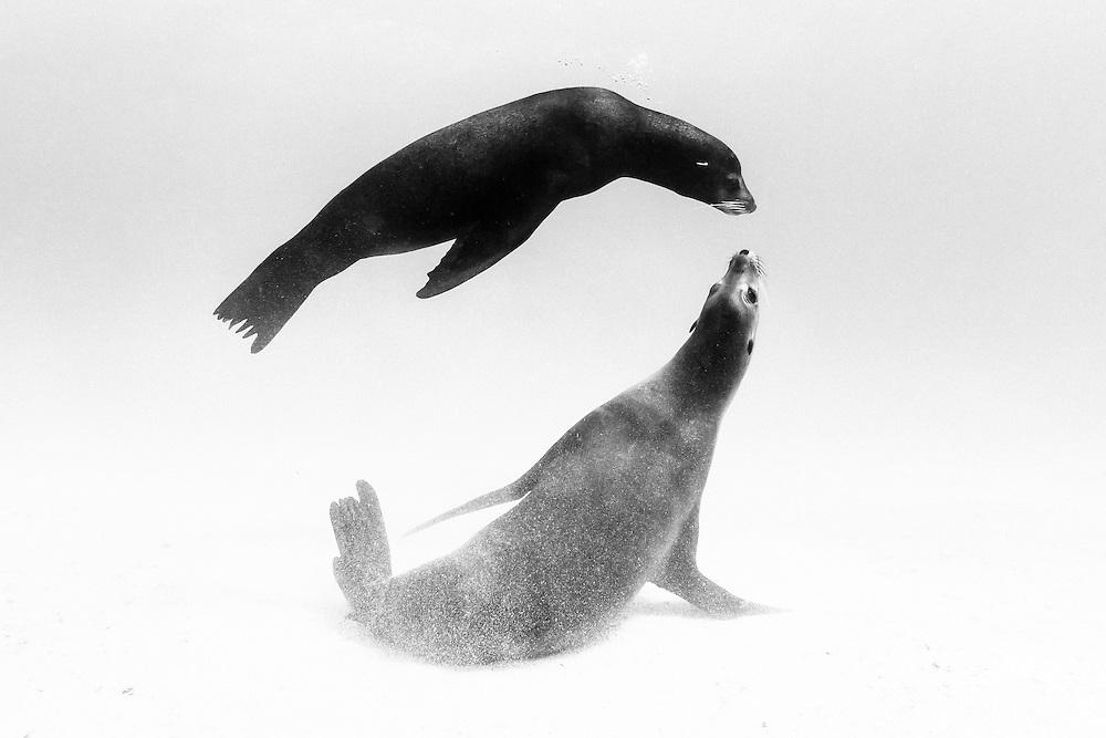 México, Baja California, Sea of Cortez. A couple of sea lions playing near a sandy bottom near La Paz.