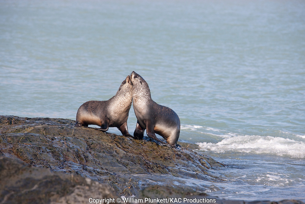 Antarctic Fur Seal (Arctocephalus gazella), Fortuna Bay, South Georgia Island