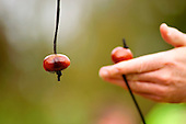 World Conker Championships 2014