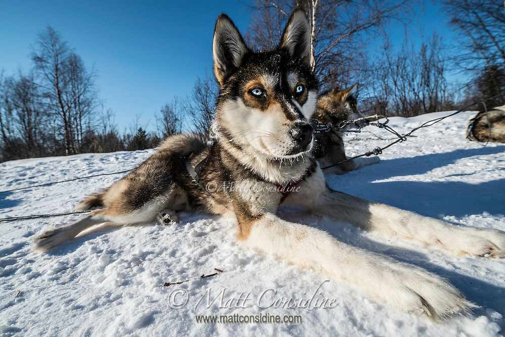 The dogs seem happy and seem to love pulling the sled., This dog has unusual blue eyes. (Photo by Travel Photographer Matt Considine)