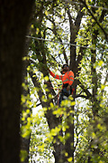 OAKHURST, CA - MAY 1, 2019: Tyler Dudley, a truck foreman for Arborworks, climbs a tree marked for removal near Yosemeti High School.