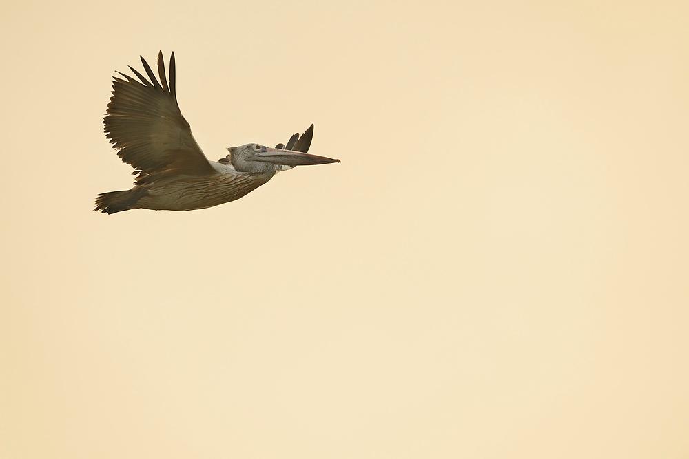 Spot-billed Pelican, Pelecanus philippinensis, Pulicat Lake, Tamil Nadu, India
