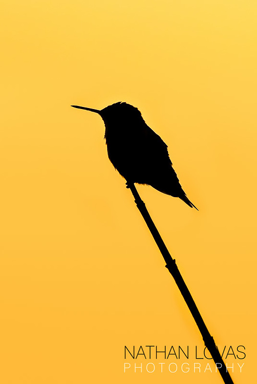 Sillouette of Ruby Throated Hummingbird perched on branch with orange sky;  MInnesota.