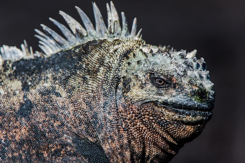 Marine Iguanas(Amblyrhynchus cristatus) <br /> Fernandina Island<br /> Galapagos<br /> Ecuador, South America<br /> ENDEMIC TO THE ISLANDS