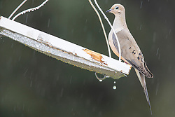 Mourning Dove (Zenaida macroura) or turtle dove at bird feeder during a rain shower in the spring