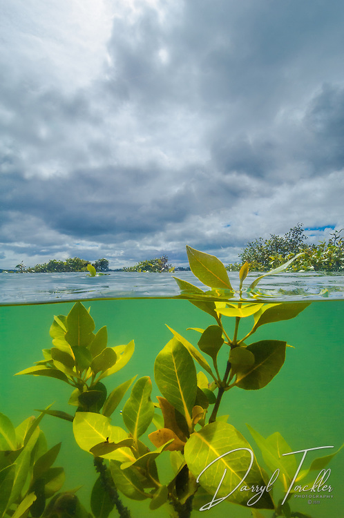 Mangroves at Pollen Island, Waitamata harbour. New Zealand