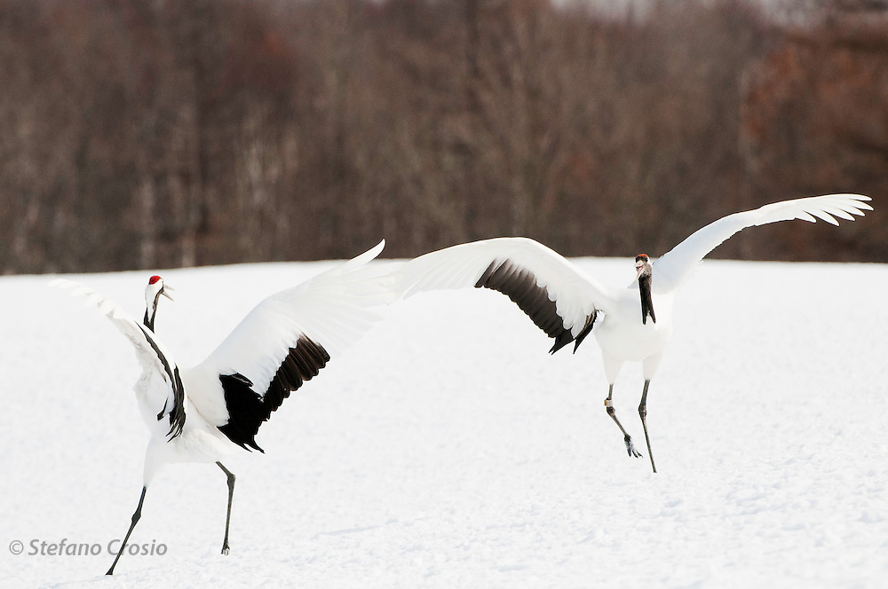 JAPAN, Eastern Hokkaido.Red-crowned cranes (Grus japonensis) during display.(IUCN 2010: Endangered)