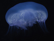 Jellyfish images