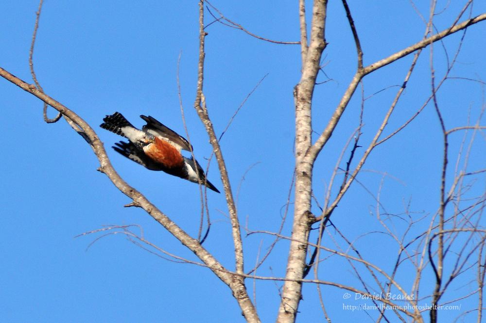 Ringed kingfisher in flight, San Lorenzo de Moxos, Beni, Bolivia