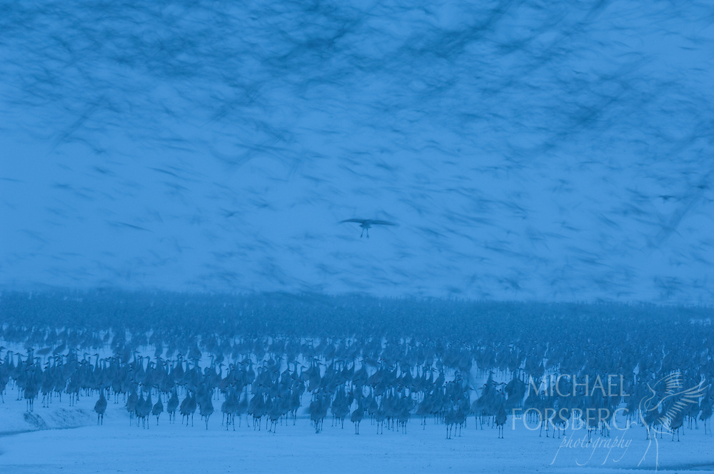 Platte River, Nebraska<br /> <br /> Migrating Sandhill cranes rise and fall in successive waves as they try to leave then decide not to leave the roost in the morning hours during a spring blizzard on Platte. <br /> <br /> Blizzard dumped over two feet of snow in 36 hours.