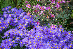 Aster amellus 'Veilchenkönigin' AGM - 'Violet Queen' with Anemone hupehensis 'Bowles's Pink' - Japanese anemone