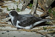 Bonin Petrel photos